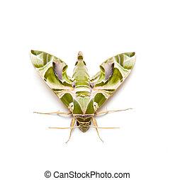 moth, papillon, nuit