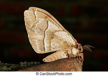 moth, peludo