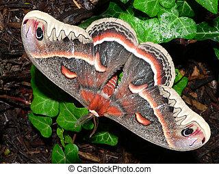 moth, reus, zijde