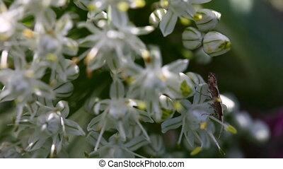 Moth. - Moth on the onion flower.