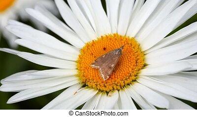 Moth. - Brown moth on chamomile.