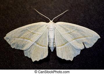 moth, twee