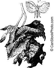 moth, videira, vindima, engraving.