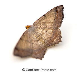 moth, vuelo