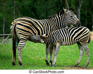 Mother and a baby Zebra showing affection