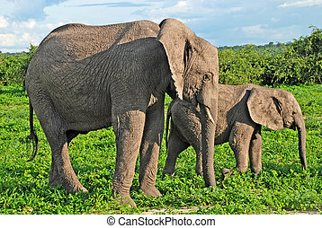 Mother and baby african elephants, Botswana.