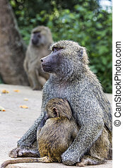 Mother and baby baboon