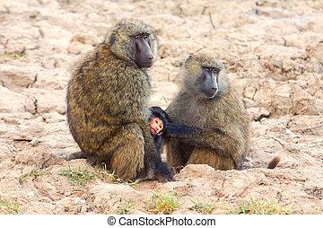 Baby baboon hugging his mother, Kenya
