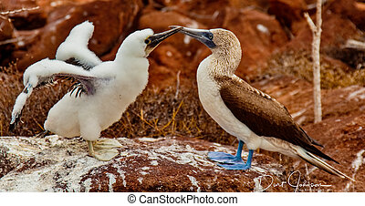 Mother and Baby Blue-Footed Boobies