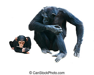 mother and baby chimps over white