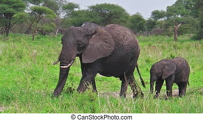 Mother and baby elephant at Tarangire National Park in Tanzania africa on green grass ground in the wild Africa.