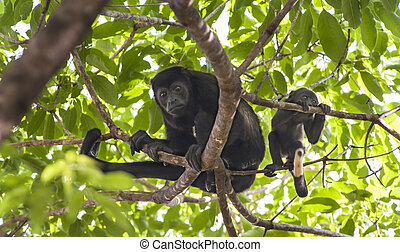 Mother and Baby Howler Monkey in Mango Tree