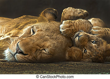 Mother and Baby lion - Four month old lion cub lying next to...