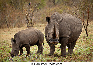 Mother and baby white rhino grazing with mother looking at camera