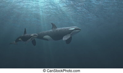 Mother and Calf Killer Whales swimming passed the camera -...