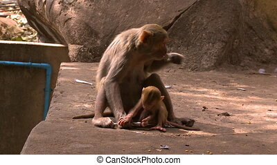 Mother and child monkeys playing - A hand held, tilting,...