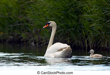 Mother and child - Swan and baby