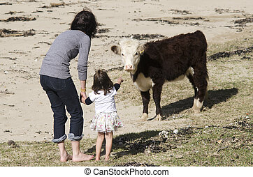 Ayrshire cattle - Mother and her daugther play with Ayrshire...
