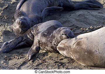 Mother and pup elephant seal