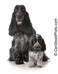 mother and puppy - english cocker spaniel mother and pup...