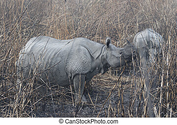 Mother and sub adult calf in burnt grassland
