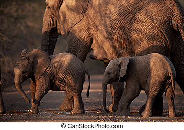 Mother and two small baby african elephants crossing the road at dusk