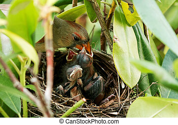 Mother bird feeding her young - Mother Cardinal bird is ...