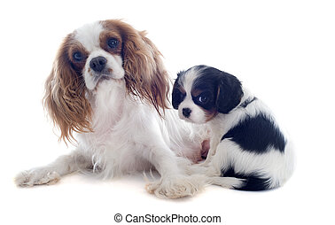 cavalier king charles - mother blenheim cavalier king...