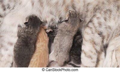 Mother cat and newborn kittens - Closeup mother cat feeding...