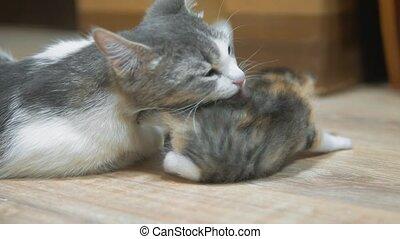 mother cat hugging little kitten. cat licks the kitten. cat...