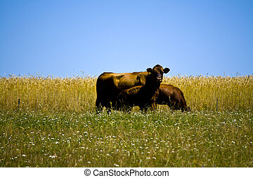 Mother cow with her young calf on a meadow in Bavaria, Germany