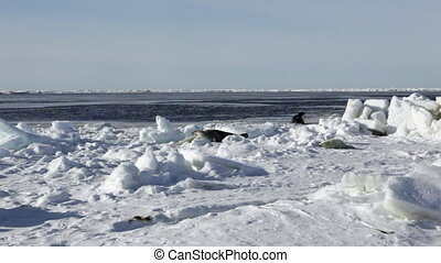 Mother Cute Newborn Seal Pup On Ice fields. - Mother Cute...
