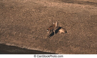 Mother deer and little fawn lying on the meadow in autumn...