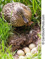 mother-duck