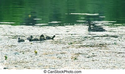 Mother duck with a flock of unfledged ducklings bathing in...