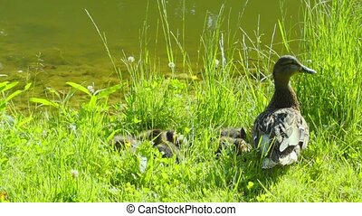 Mother duck with her ducklings on the bank