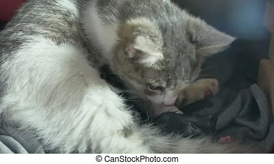 Mother fluffy cat pregnant give birth and lifestyle newborn...