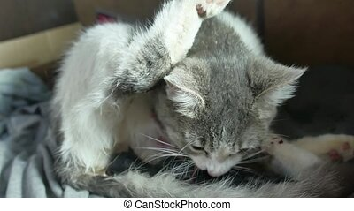 Mother fluffy cat pregnant give birth and newborn baby...
