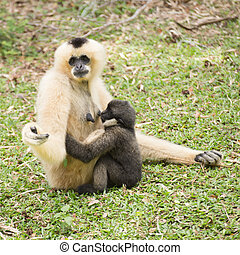 Mother Gibbon and baby