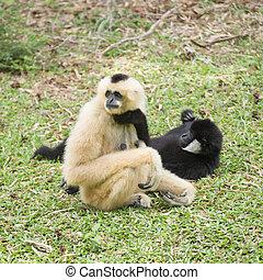 Mother Gibbon sitting