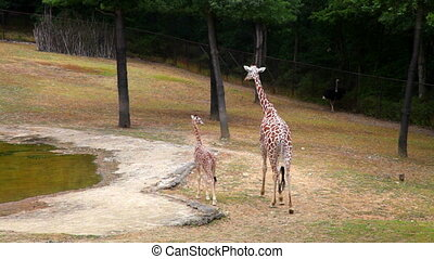 Mother giraffe and cub in summer park - Giraffe family near...