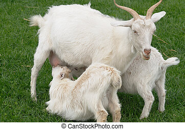 Mother Goat Feeding Twin Kids - A mother goat feeding her...