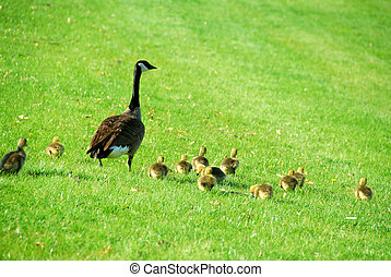 Mother goose - Canadian mother goose with her goslings...