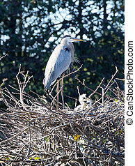 Mother Great Blue Heron Watching Over Babies in Nest