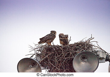 Mother great horned owl Bubo virginianus with an owlet in a ...