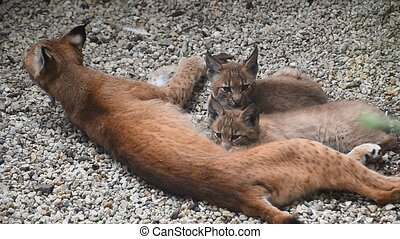 Mother lynx feeding two kittens close up - Mother Eurasian...