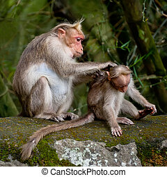 Mother macaque monkey cleaning her baby in bamboo forest. ...
