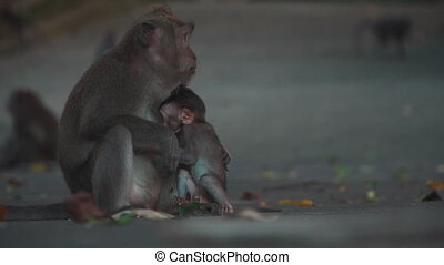cute little ape sucking breast and mother chew plant