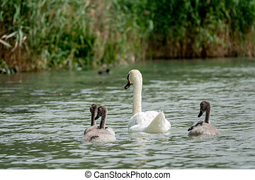 Mother Mute Swan and Cygnets swimming on a lake