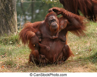 Mother orang utan with two babies - Family affairs; mother...